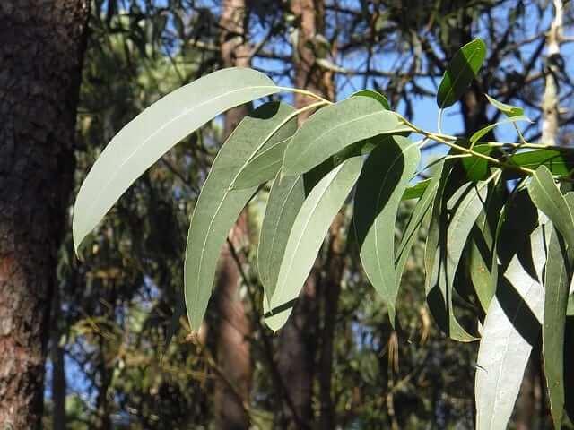 eucalipto plantas medicinales para combatir el catarro resfriado remedios naturales