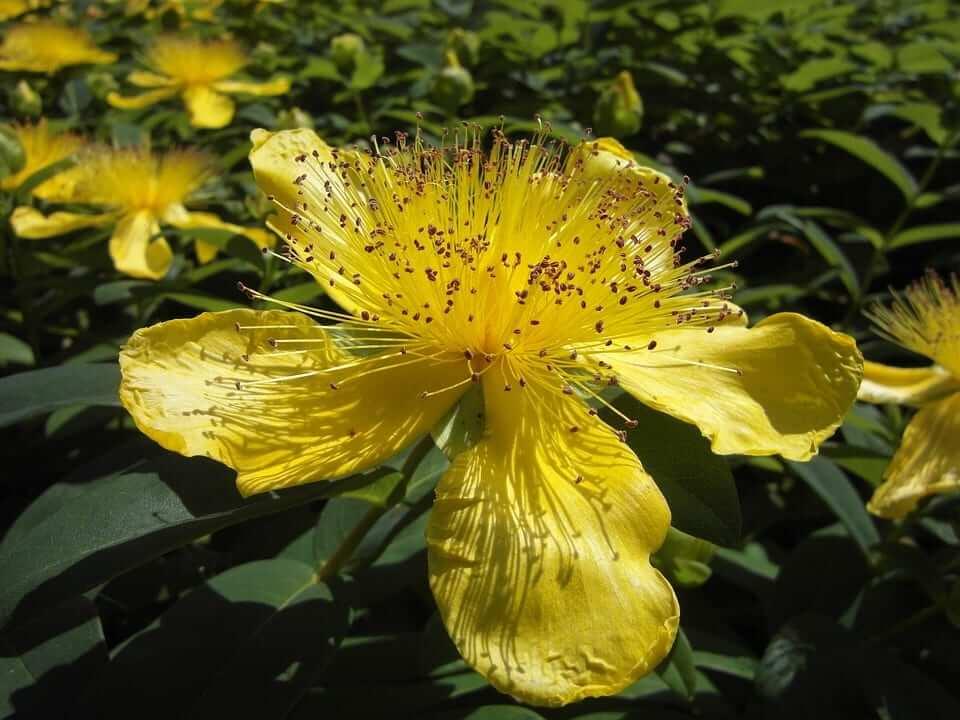 El hipérico, la hierba del bienestar
